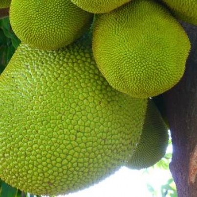 jack-fruit-benefits